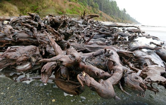 Roots of tree at Beach 5, Olympic National Park