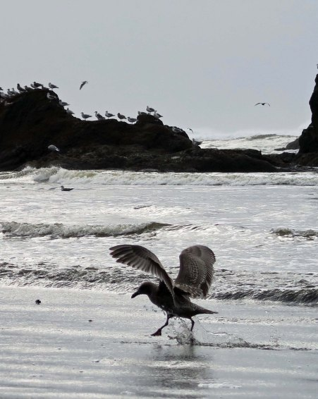 Seagull takes flight at Ruby Beach, Olympic National Park
