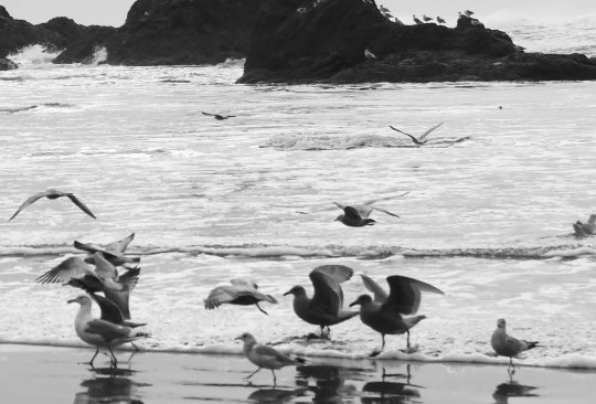 Seagulls in surf at Ruby Beach, Olympic National Park