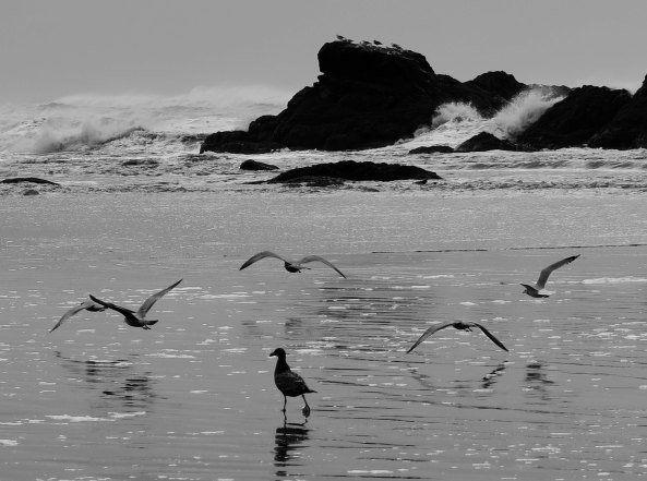 Seagulls running and flying at Ruby Beach