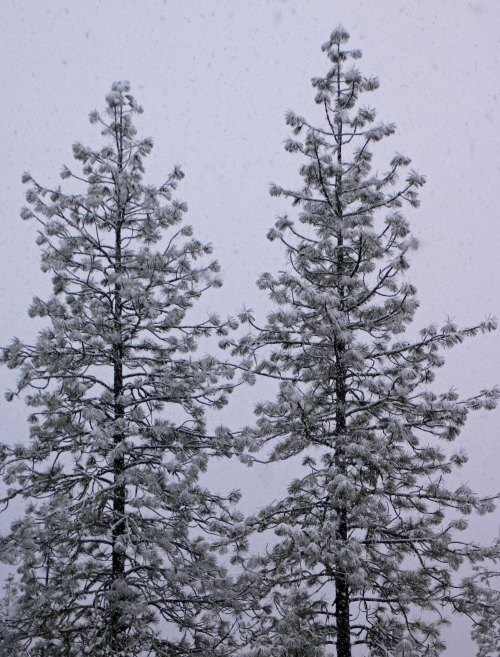Two Ponderosa Pines in snow storm