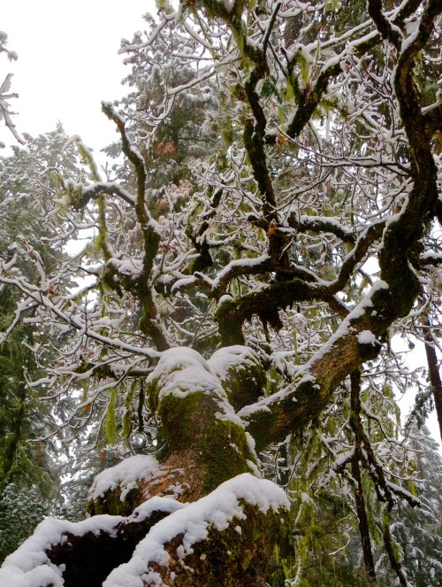 White oak limb in snowstorm at Mekemson home in Oregon