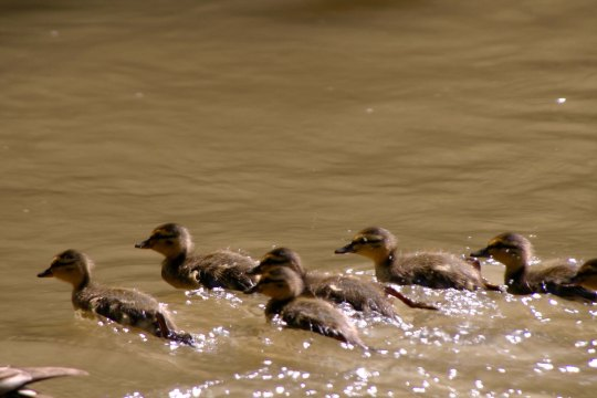 Baby ducks on Trent and Mersey Canal