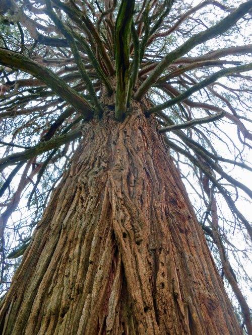 Cedar tree in Great Tree Race, Diamond Springs, CA
