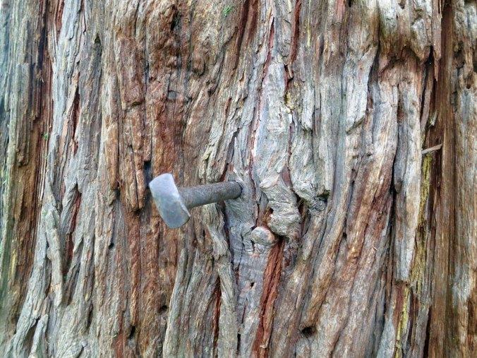Cedar tree spike in Diamond Springs Ca
