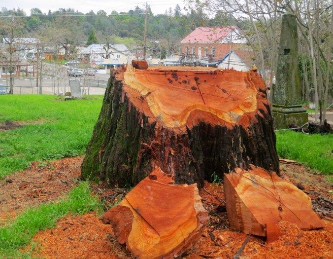 Cut down incense cedar tree in Diamond Springs graveyard
