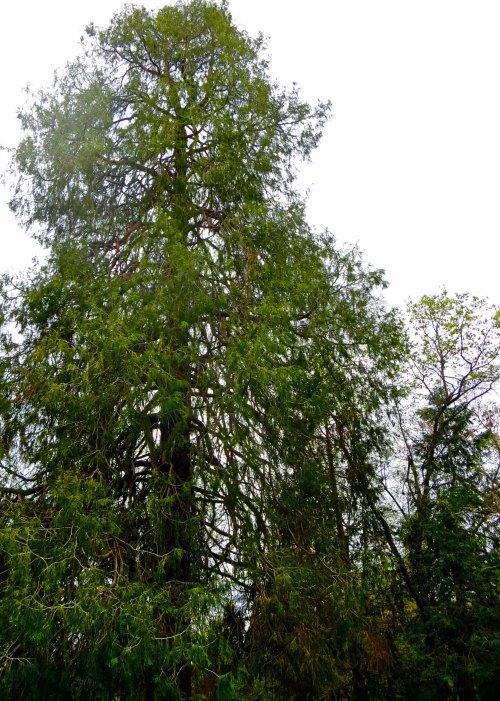Incense cedar tree in Diamond Springs graveyard