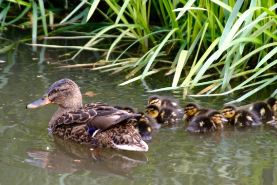 Mallard hen and chicks on Trent and Mercy Canal