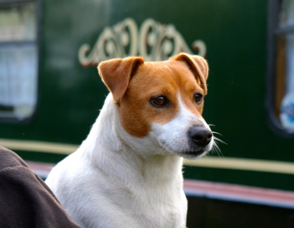 Narrowboat dog on Trent and Mercy Canal
