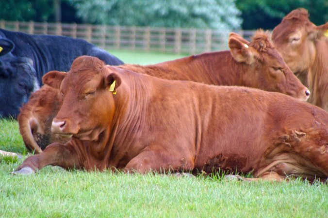 Resting cattle along Trent and Mersey Canal