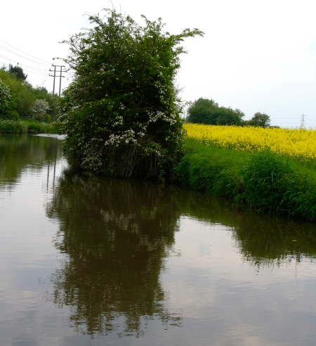 Scenic flowering tree and mustard along the Trent and Mercy Canal