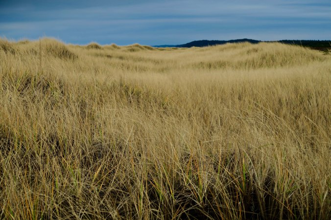 Seagrass and dunes at Copalis Beach
