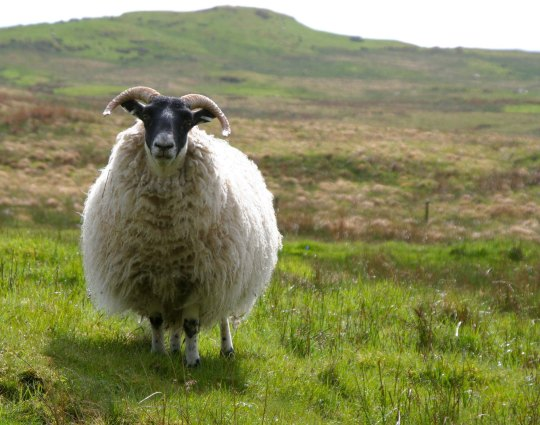Sheep in Scotland 2