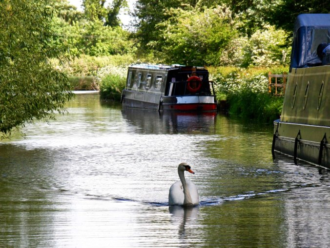 Swan and narrowboats on Trent and Mersey Canal