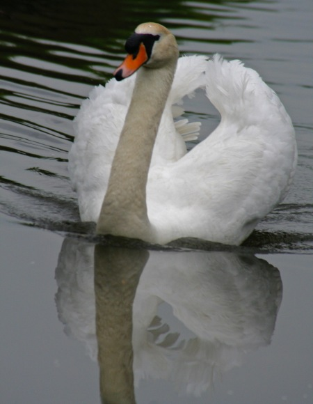 Swan and reflection on Trent and Mercy Canal