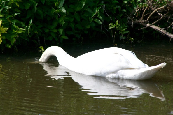 Swan chows down on Trent and Mercy Canal