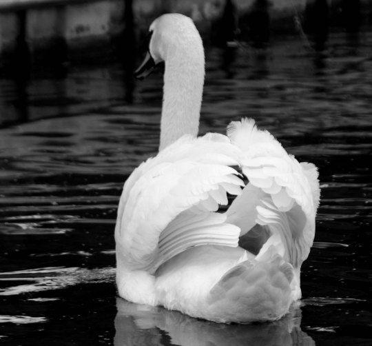 Swan in black and white on Trent and Mersey Canal