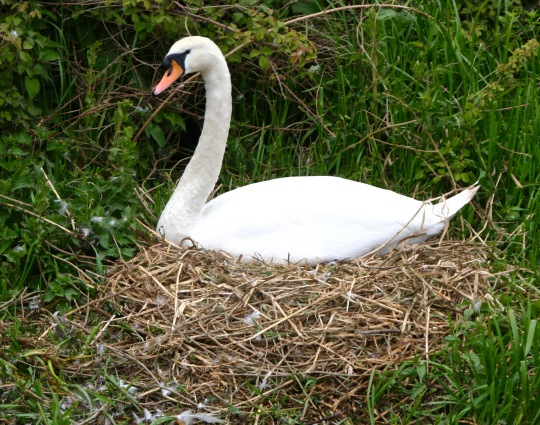 Swan nesting on Trent and Mercey Canal