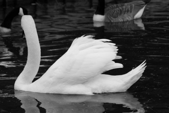 Swan profile on Trent and Mersey Canal