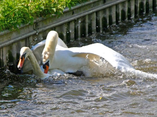 Swans mating on Trent and Mersey Canal