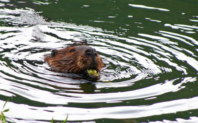 Beaver chewing on wood chip along Toad River