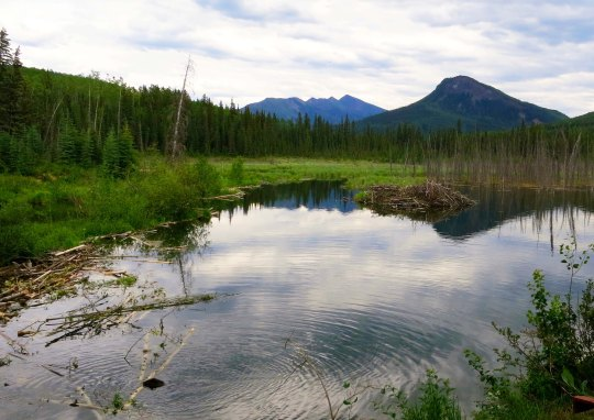 Beaver dam and beaver along Alaska Highway