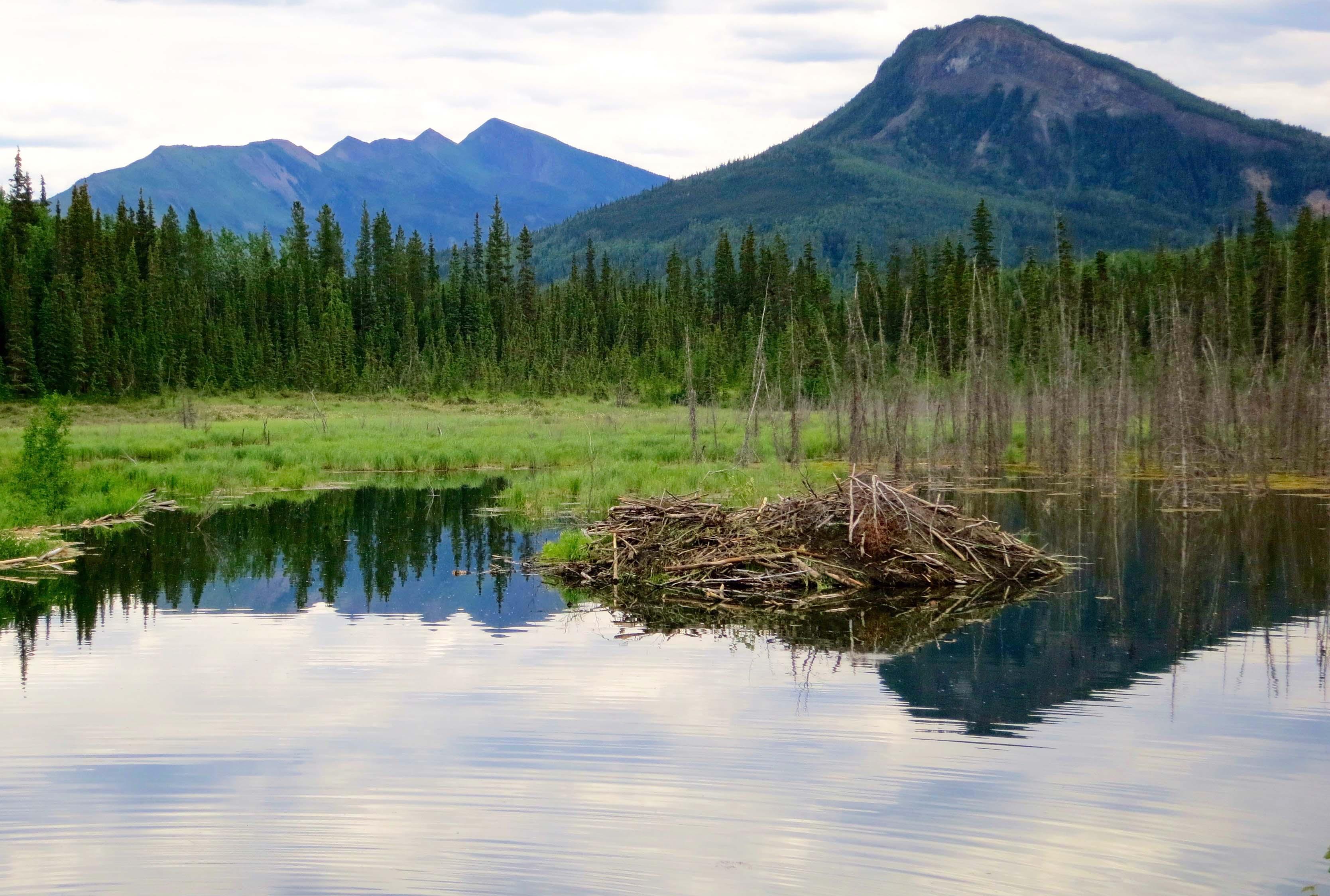Beaver dam near the Toad River along the Alaska Highway