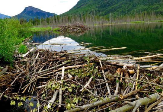 Beaver Lodges and dam next to Toad River Lodge on Alaska Highway