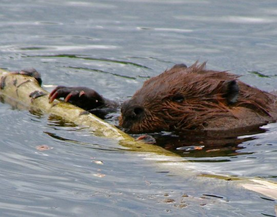 Beaver pushing limb to Beaver Dam near Toad River Lodge
