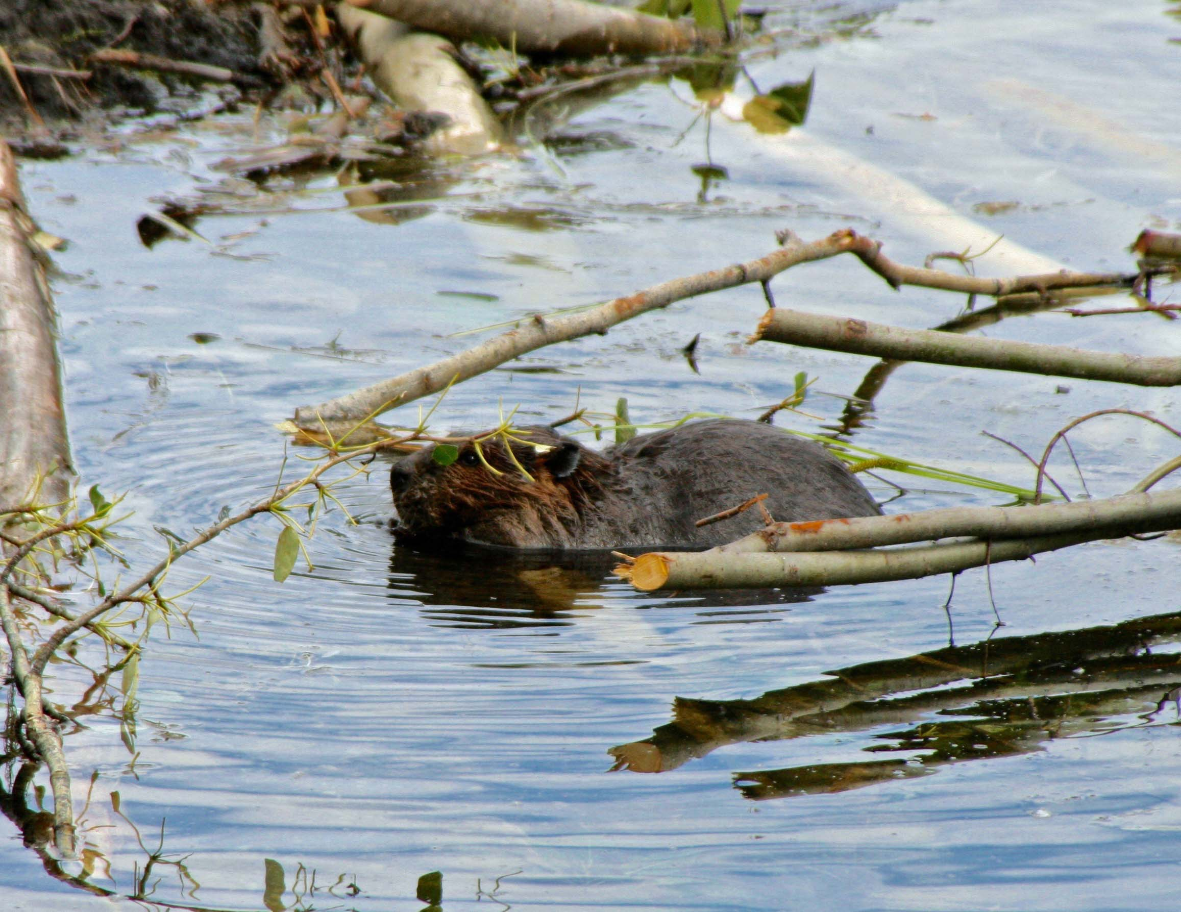 Beaver working on beaver dam