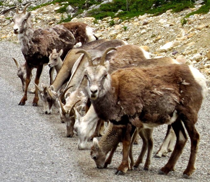 Being checked out by Stone Mountain sheep on Alaska Highway