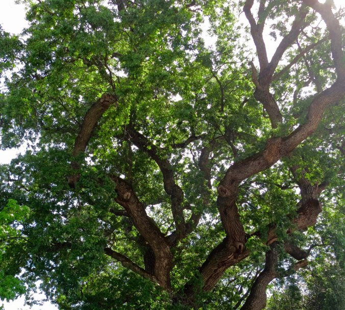 Black oak and woods