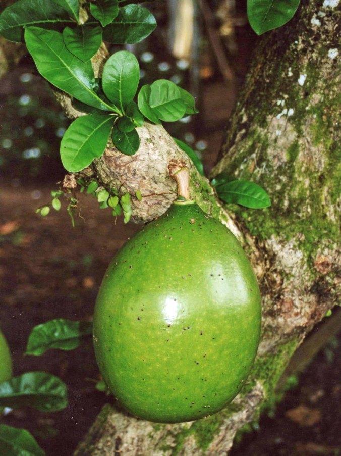 Breadfruit in Amazon