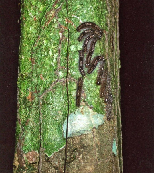 Catpillars on tree in Amazon Rainforest