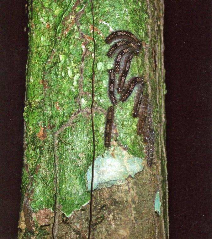 Catpillars on tree in Amazon Rainforest