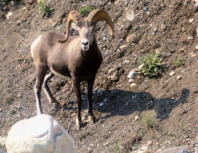 Dall sheep ram on Alaska Highway