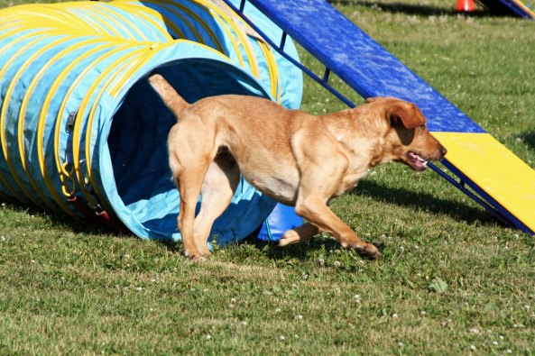 Dog agility trials in Quesnel, BC tunnel