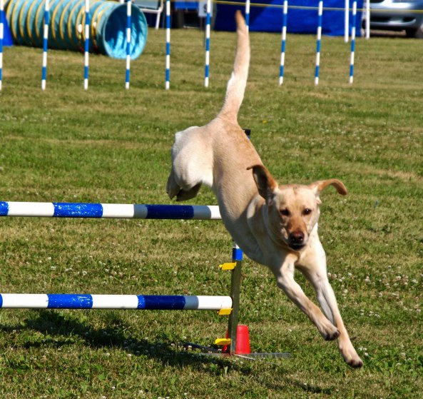 Dog agility trials, jumping in Quesnel, BC
