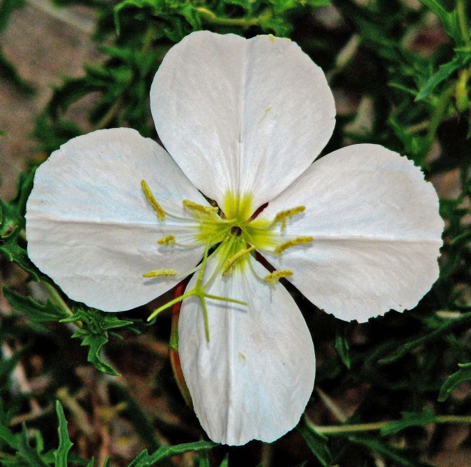 Grand Canyon evening primrose by Don Green