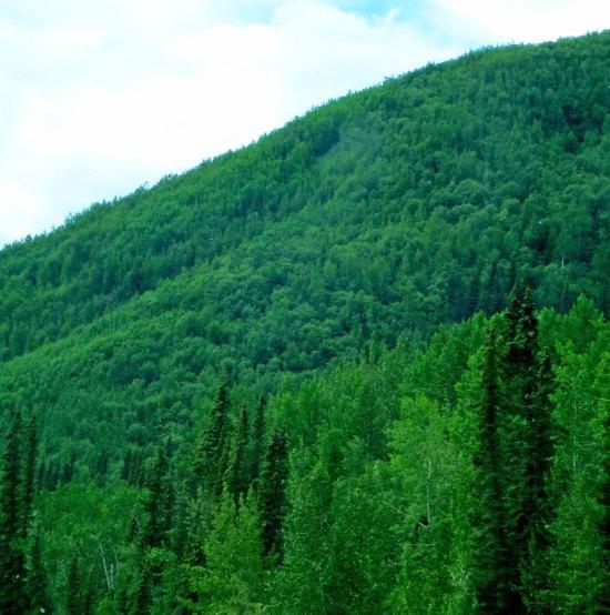 Green forests along Alaska Highway