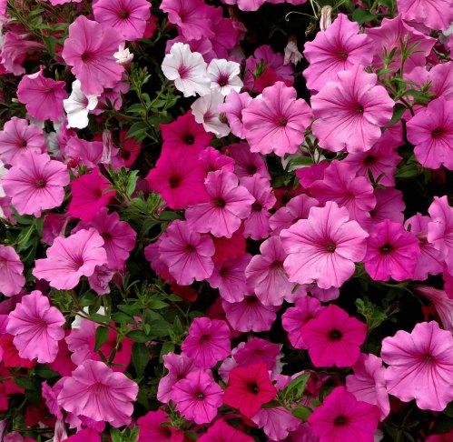 Hanging basket petunias closeup, BC