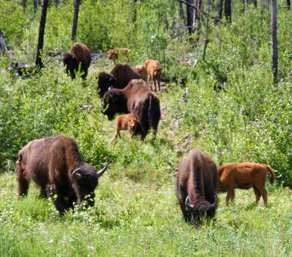 Herd of wood bison along Alaska Highway