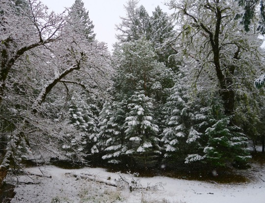 Young Douglas fir covered with fresh snow