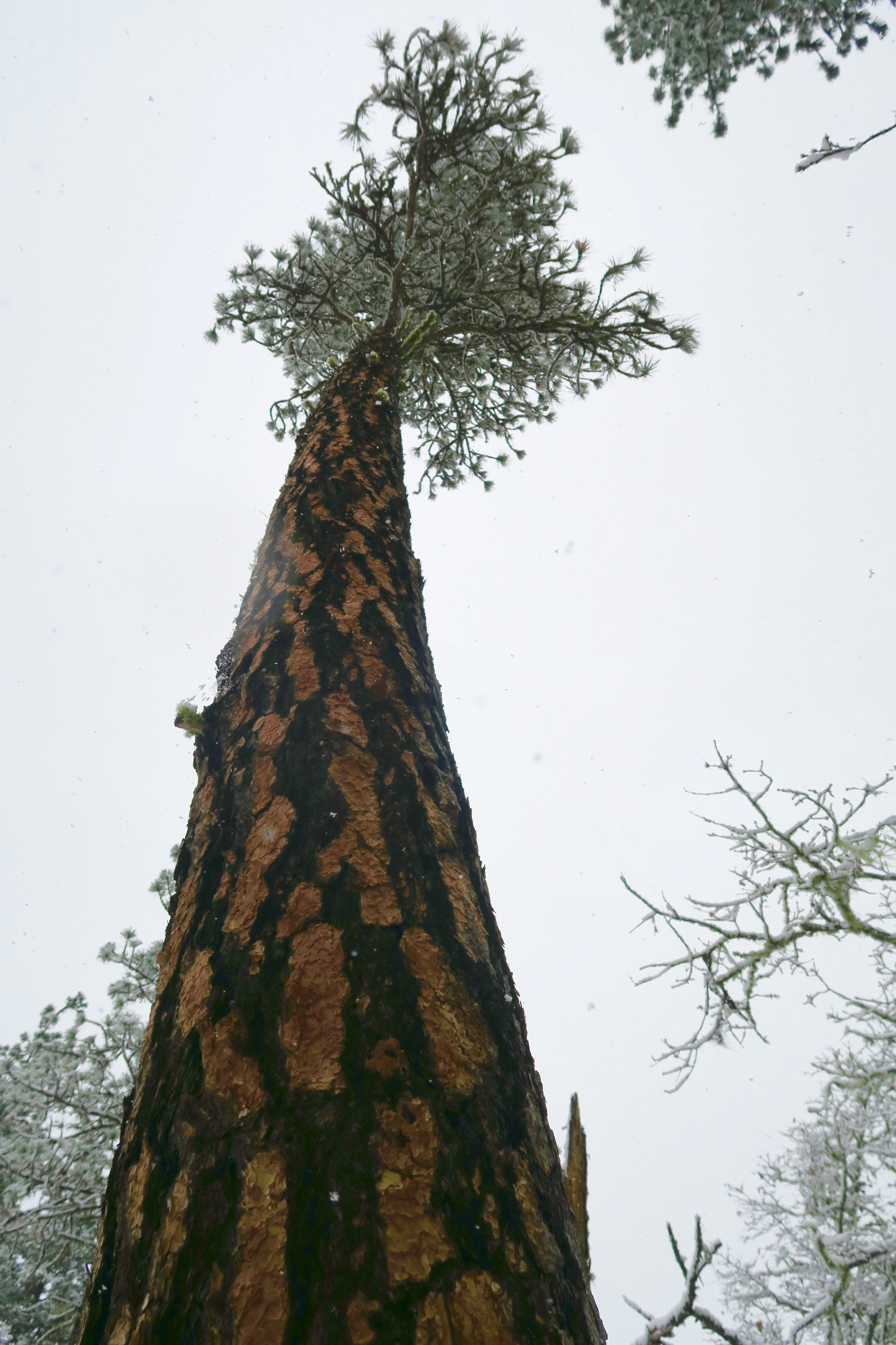 Ponderosa pine in snowstorm, Rogue River National Forest