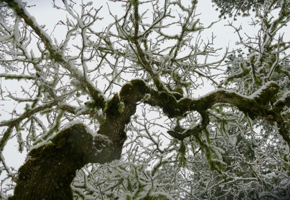 Oak tree branch covered in snow, Rogue River National Forest