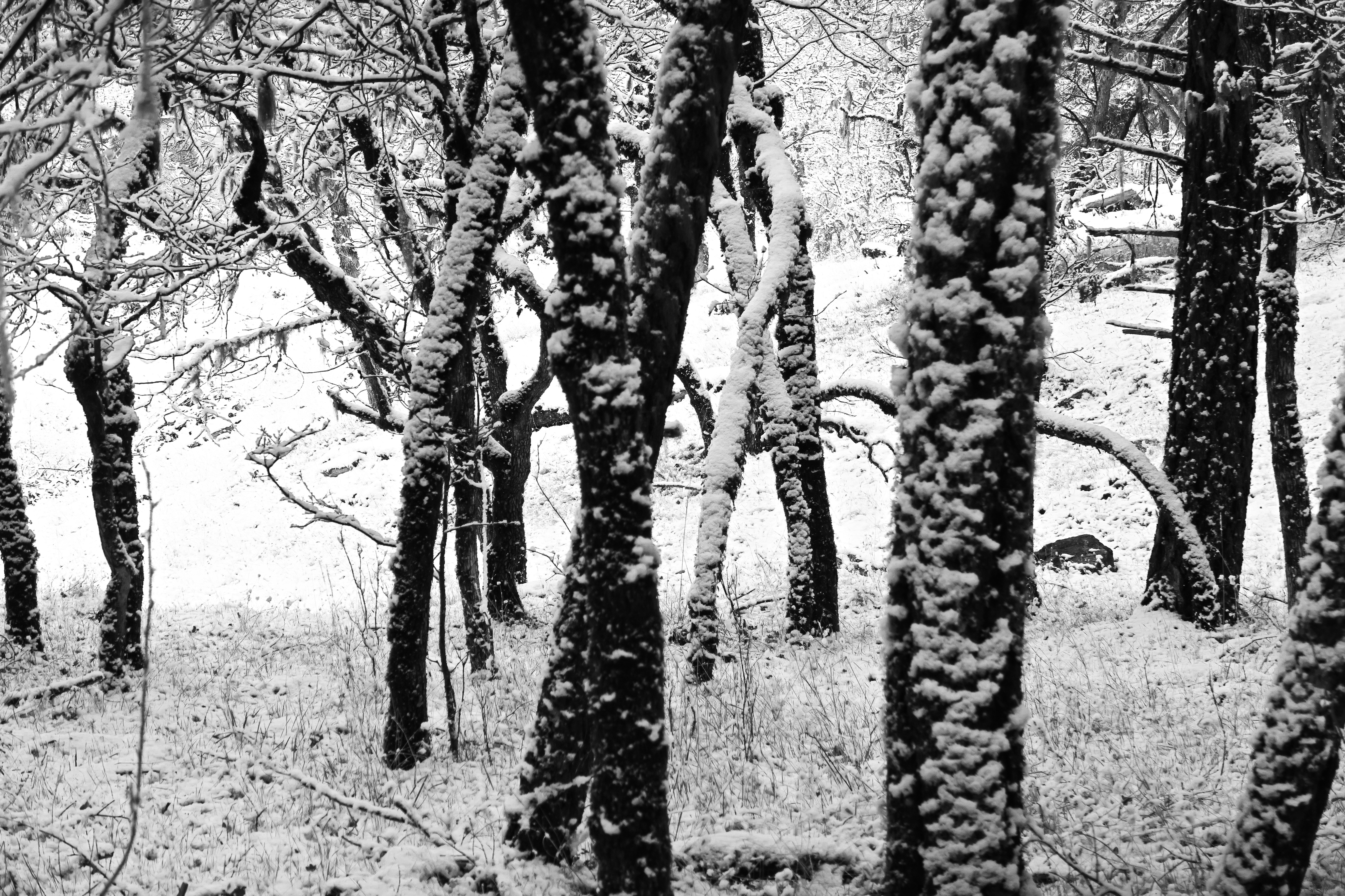Black and white photo of trees in snow, Rogue River National Forest