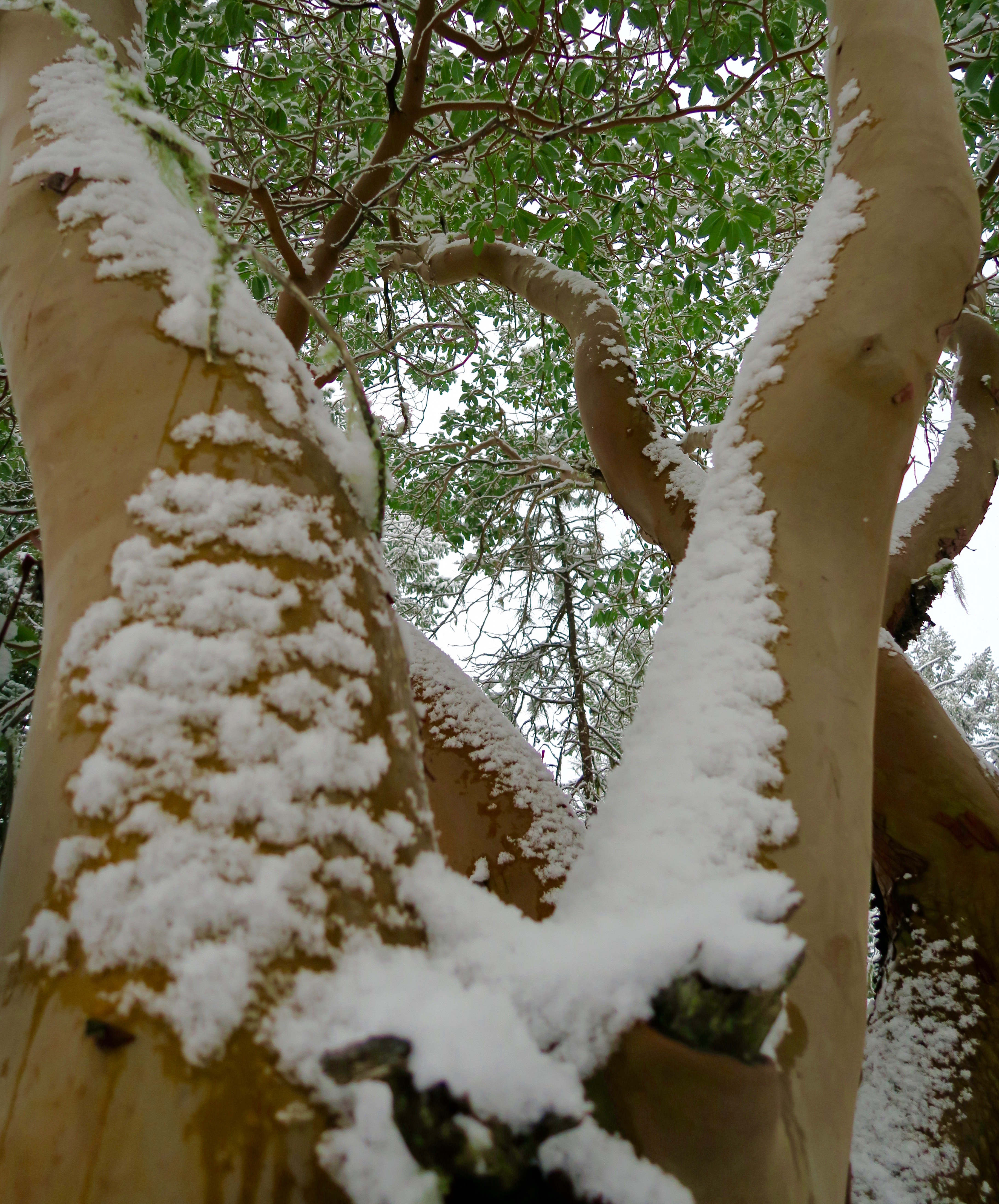 Madrone lightly dusted with snow in Rogue River National Forest