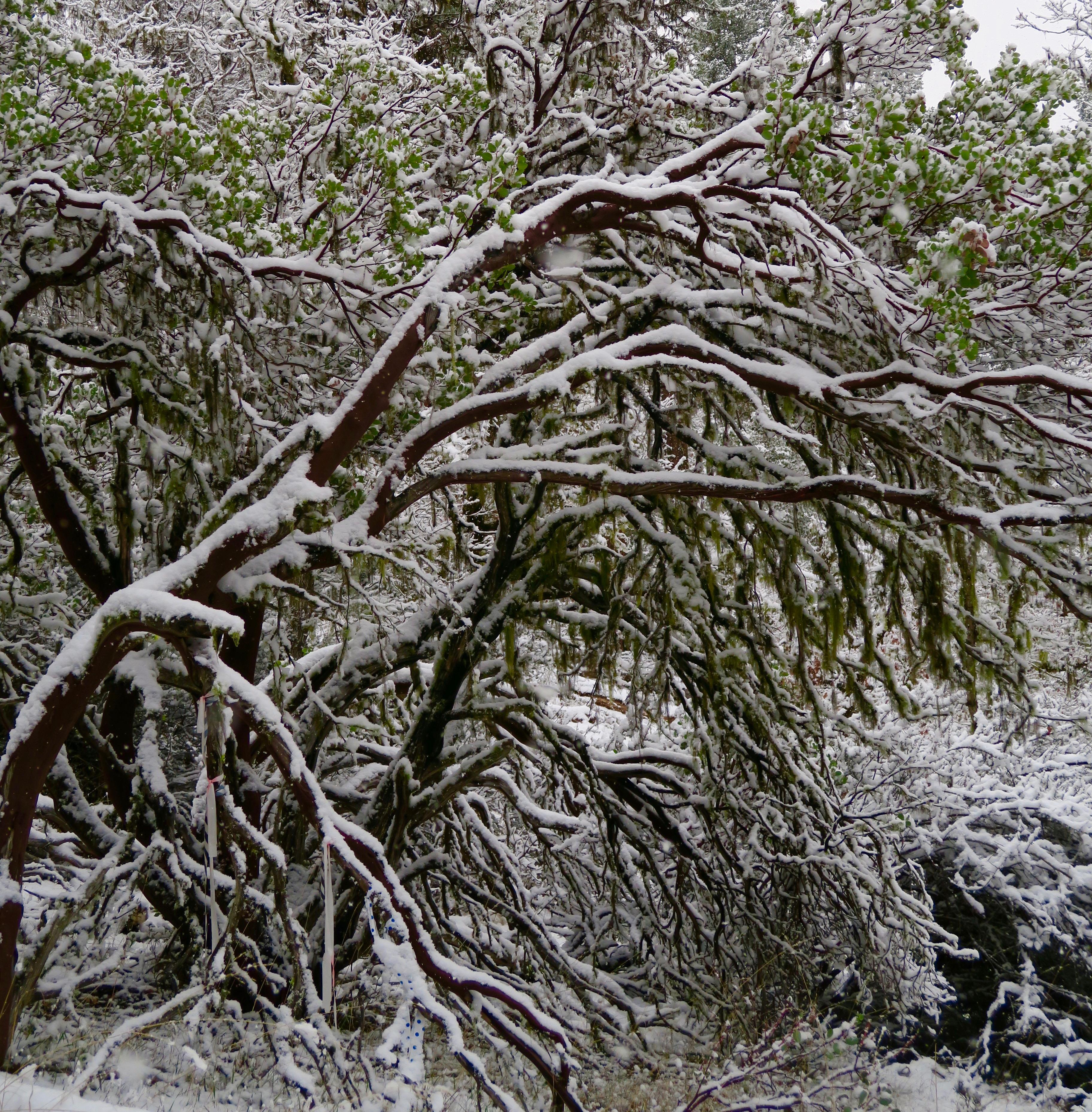 Manzanita in snow, Rogue River National Forest, Upper Applegate River