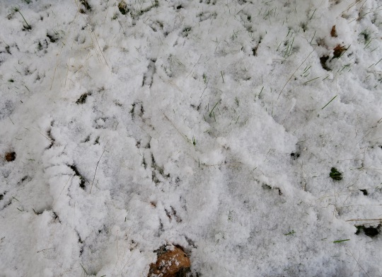 Oregon Junco tracks in snow, Rogue River National Forest