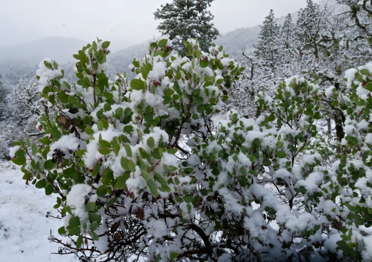 Manzanita covered in snow, Rogue River National Forest in Southern Oregon